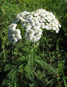 Achillea_millefolium_(yarrow)